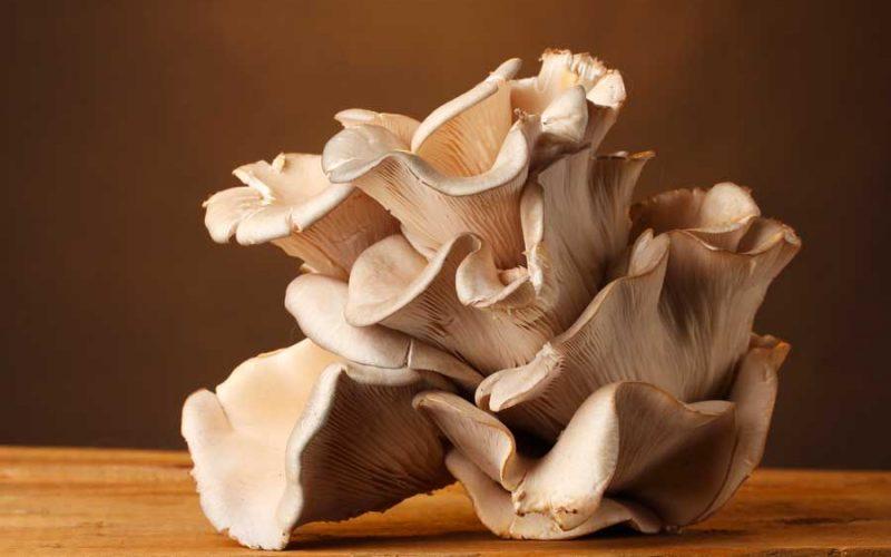 funghi pleurotus ostreatus